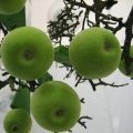 Apfelleuchter Granny Smith